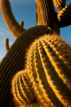 Sunset light on twisted Saguaro cactus (Carnegiea gigantea) Sonoran Desert National Monument,  Arizona, USA, April.
