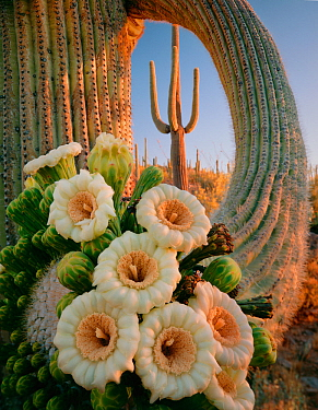Saguaro Cactus (Carnegiea gigantea) with flower cluster emerging from the tip of its limb, Saguaro National Park, Arizona, USA.