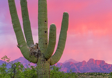 Great horned owl (Bubo virginianus) chicks in nest in Saguaro cactus (Carnegiea gigantea) at sunset, Santa Catalina Mountains, Arizona, USA, May.