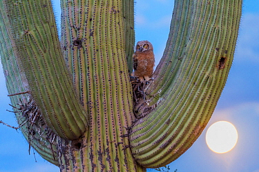 Great horned owl (Bubo virginianus) chick nesting in Saguaro cactus (Carnegiea gigantea), Santa Catalina Mountains, Arizona, USA, May.