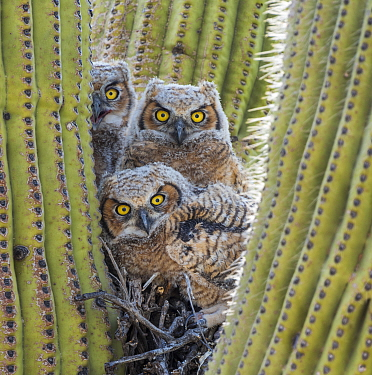 Great horned owl (Bubo virginianus) chicks nesting in saguaro cactus (Carnegiea gigantea), near Oracle, Sonoran Desert, Arizona, USA, May.