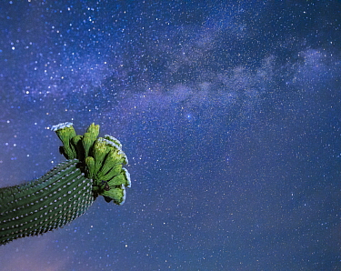 Saguaro cactus (Carnegiea gigantea) in flower at night, with The Milky Way behind, Sonoran Desert National Monument, Sierra Estrella Mountain Wilderness, Arizona, USA, May.