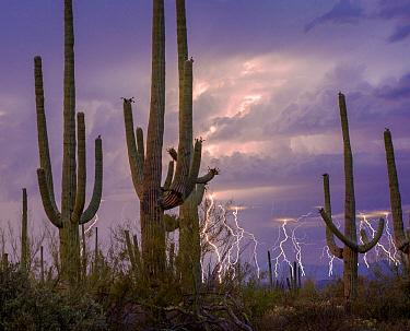 Lightning storm at twilight with Saguaro cactus (Carnegiea gigantea) Avra Valley, Saguaro National Park, Tucson Mountains, Arizona, USA. June 2015. Long exposure with lightning trigger.