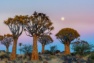 Quiver trees (Aloe dichotoma) at sunset with moon, Namib Desert, Namibia.