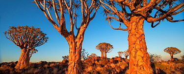 Quiver trees (Aloe dichotoma) at sunrise, Namib Desert, Namibia.