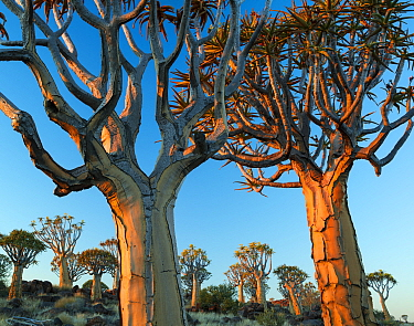 Quiver trees (Aloe dichotoma) at sunset, Namib Desert, Namibia.