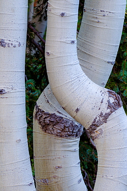 Aspens with bent trunks shaped by heavy snow load. Grand Canyon National Park, Arizona, USA, August.