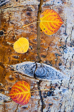 Fallen Quaking aspen (Populus tremuloides) leaves on wood,  autumn, Dixie National Forest, Utah, USA, October.