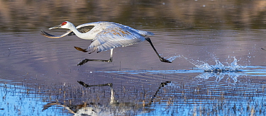 Sandhill crane (Grus canadensis) running to take off into flight,  Boque del Apache, New Mexico, USA, December.