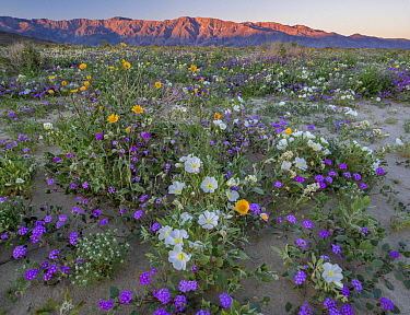 Desert landscape with flowering Sand verbena (Abronia), Desert gold (Geraea canescens), and Birdcage evening primrose (Oenothera deltoides), with the Santa Rosa Mountains in background.  Anza-Borrego...