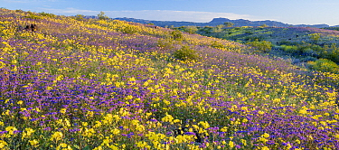 Whipple Mountain foothills, with flowering Notch-leaf scorpion-weed (Phacelia crenulata) and Heartleaf evening primrose (Camissonia cardiophylla) with the Riverside and Big Maria Mountains in the back...