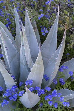 Notch-leaf scorpion-weed (Phacelia crenulata) blooming around Desert agave (Agave desertii) in Glorieta Canyon, Anza-Borrego State Park, California, USA, March 2017. These plants are flowering during...