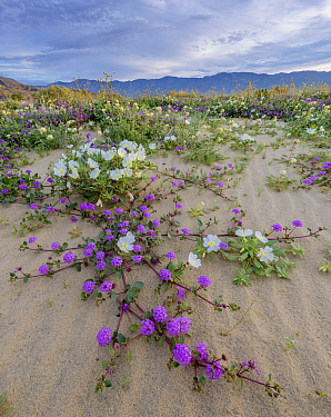 1563786 - - Desert landscape with flowering Sand verbena (Abronia), Desert gold (Geraea canescens), and Birdcage evening primrose (Oenothera deltoides), with the Santa Rosa Mountains in background. An...