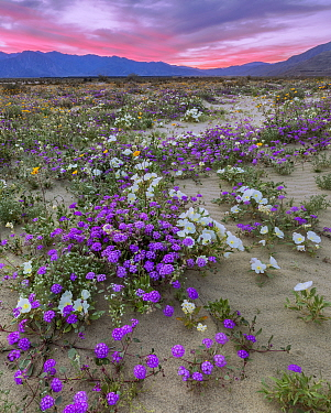 Desert landscape at sunset, with flowering Sand verbena (Abronia), Desert gold (Geraea canescens), and Birdcage evening primrose (Oenothera deltoides), with the Santa Rosa Mountains in background.  An...