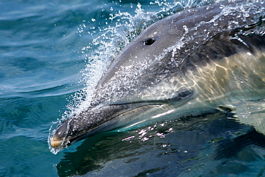 Common dolphin (Delphinus delphis) close up of dolphin surfing at speed, Hebrides, Scotland, UK.