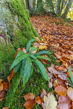 Hard fern (Blechnum spicant) infertile fronds, in Beech wood, autumn. Wye Valley, Monmouthshire,UK, November.