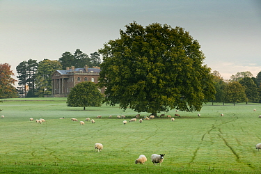 Sheep grazing near Berrington Hall, Herefordshire, England, UK, October 2015.