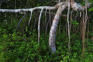 Fig Tree (Ficus cotinifolia) forest, Socorro Island, Revillagigedo Archipelago Biosphere Reserve / Archipielago de Revillagigedo UNESCO Natural World Heritage Site (Socorro Islands), Pacific Ocean, We...