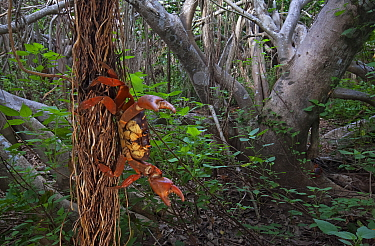 Land Crab (Gecarcinus planatus) in defensive display on Fig Tree (Ficus cotinifolia), Socorro Island, Revillagigedo Archipelago Biosphere Reserve / Archipielago de Revillagigedo UNESCO Natural World H...