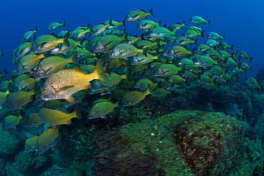 Burrito Grunt (Anisotremus interruptus), San Benedicto Island, Revillagigedo Archipelago Biosphere Reserve / Archipielago de Revillagigedo UNESCO Natural World Heritage Site (Socorro Islands), Pacific...