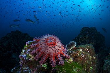 Crown-of-thorns Seastar (Acanthaster planci) San Benedicto Island, Revillagigedo Archipelago Biosphere Reserve / Archipielago de Revillagigedo UNESCO Natural World Heritage Site (Socorro Islands), Pac...
