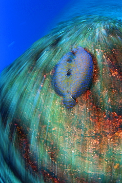 Tropical Flounder (Bothus mancus) swimming, San Benedicto Island, Revillagigedo Archipelago Biosphere Reserve / Archipielago de Revillagigedo UNESCO Natural World Heritage Site (Socorro Islands), Paci...