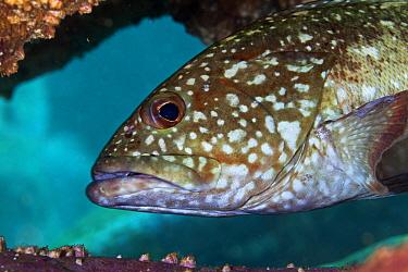 Starry Grouper (Epinephelus labriformis), Socorro Island, Revillagigedo Archipelago Biosphere Reserve / Archipielago de Revillagigedo UNESCO Natural World Heritage Site (Socorro Islands), Pacific Ocea...