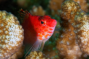 Coral Hawkfish (Cirrhitichthys oxycephalus), Socorro Island, Revillagigedo Archipelago Biosphere Reserve / Archipielago de Revillagigedo UNESCO Natural World Heritage Site (Socorro Islands), Pacific O...
