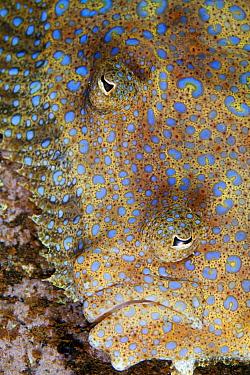 Tropical Flounder (Bothus mancus), Socorro Island, Revillagigedo Archipelago Biosphere Reserve / Archipielago de Revillagigedo UNESCO Natural World Heritage Site (Socorro Islands), Pacific Ocean, West...