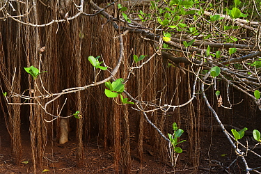 Fig trees (Ficus cotinifolia), Socorro Island, Revillagigedo Archipelago Biosphere Reserve / Archipielago de Revillagigedo UNESCO Natural World Heritage Site (Socorro Islands), Pacific Ocean, Western...