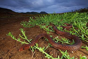 Clarion Island Whip Snake (Masticophis anthonyi), IUCN Critically Endangered, Clarion Island, Revillagigedo Archipelago Biosphere Reserve / Archipielago de Revillagigedo UNESCO Natural World Heritage...