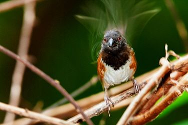 Socorro Towhee (Pipilo socorroensis), IUCN Endangered, Socorro Island, Revillagigedo Archipelago Biosphere Reserve / Archipielago de Revillagigedo UNESCO Natural World Heritage Site (Socorro Islands),...