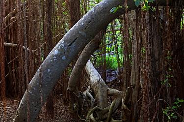 Fig Tree (Ficus cotinifolia), Socorro Island, Revillagigedo Archipelago Biosphere Reserve / Archipielago de Revillagigedo UNESCO Natural World Heritage Site (Socorro Islands), Pacific Ocean, Western M...