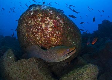 Panamic Green Moray (Gymnothorax castaneus), San Benedicto Island, Revillagigedo Archipelago Biosphere Reserve / Archipielago de Revillagigedo UNESCO Natural World Heritage Site (Socorro Islands), Pac...