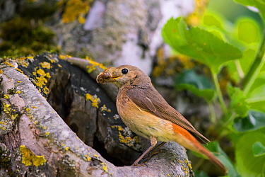 Redstart (Phoenicurus phoenicurus), female at nest hole, Bayern, Germany. June