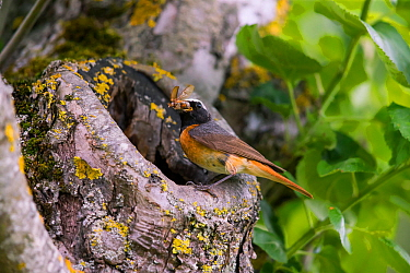 Redstart (Phoenicurus phoenicurus), male at nest hole, Bayern, Germany. June