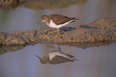 Common Sandpiper (Actitis hypoleucos), Bayern, Germany. May