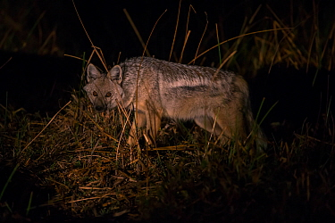 Side-striped Jackal (Canis adustus) Little Kwara, Botswana June
