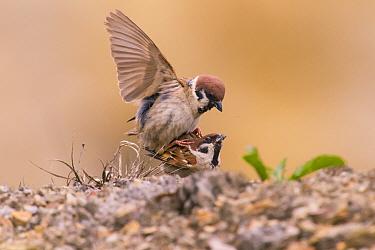 Tree Sparrow (Passer montanus) pair mating, Bayern, Germany. July