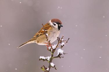 Tree Sparrow (Passer Montanus), Bayern, Germany. December