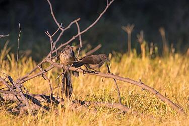 Jacobin Cuckoo (Clamator jacobinus) fledgling begging for food from Arrow-marked Babbler (Turdoides jardineii ) Kwara, Botswana June