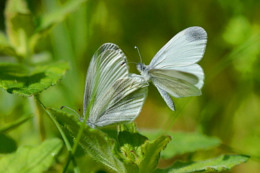 Wood white butterfly (Leptidea sinapis) one landed on the wing of another, Vosges, France, May.