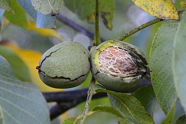Walnut (Juglans sp) fruit, Vosges, France, September.