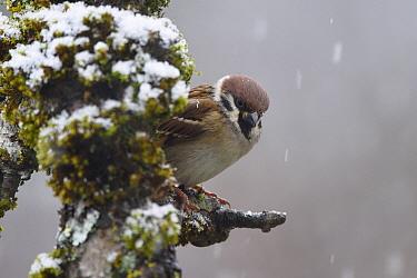 Eurasian tree sparrow (Passer montanus) Vosges, France, January.