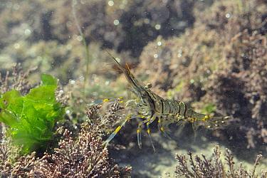 Common prawn (Palaemon serratus) swimming in a rockpool among Coralweed (Corralina officinalis) and Sea Lettuce / Sea Laver (Ulva lactuca). Rhossili, The Gower Peninsula, UK, July.