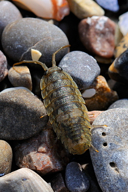 Sea slater / Beach woodlouse (Ligia oceanica) on pebbles. Rhossili, The Gower Peninsula, UK, July.