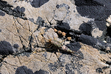 Shore / Sea Bristletail (Petrobius maritimus / brevistylis) camouflaged on limestone rock with patches of Black tar lichen (Hydropunctaria maura / Verrucaria maura) alongside four Small periwinkles (M...