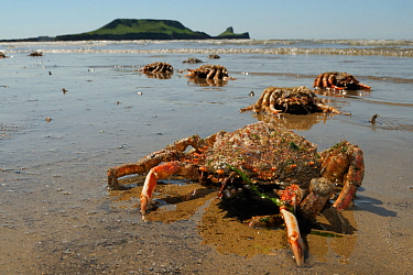 Moulted crarapaces and legs of Common spider crabs / Spiny spider crabs (Maja brachydactyla / Maja squinado) and moulted carapaces washed up on Rhossili Bay, with the Worm's Head in the background, Th...