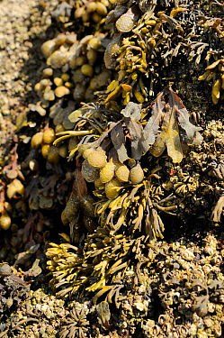 Spiral / Flat wrack (Fucus spiralis) surrounded by Channelled wrack (Pelvetia canaliculata) on rocks high on the shoreline, exposed at low tide, Rhossili, The Gower Peninsula, UK, July.