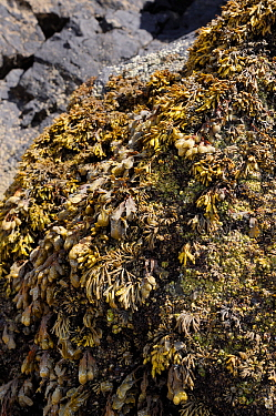 Channelled wrack (Pelvetia canaliculata) above and Spiral / Flat wrack (Fucus spiralis) below, growing on rocks high on the shoreline, exposed at low tide. Rhossili, The Gower Peninsula, UK, July.